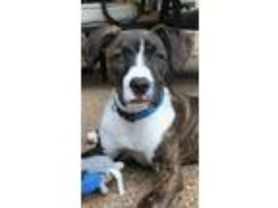 "Adopt Bandit "" Staffie Mix Puppy Brindle and White "" a Staffordshire Bull"