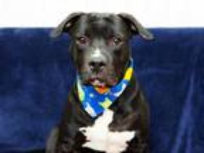Adopt VADER a Black - with White American Pit Bull Terrier / Mixed dog in