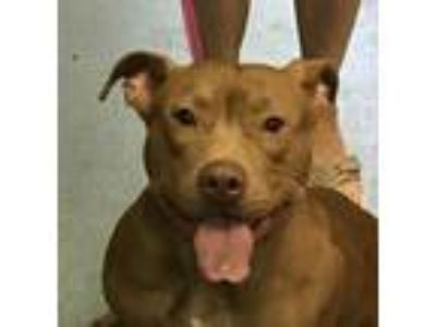 Adopt Sweet Chloe a Tan/Yellow/Fawn - with White American Pit Bull Terrier /