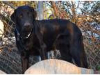 Adopt Bentley a Black Labrador Retriever / Mixed dog in Simi Valley