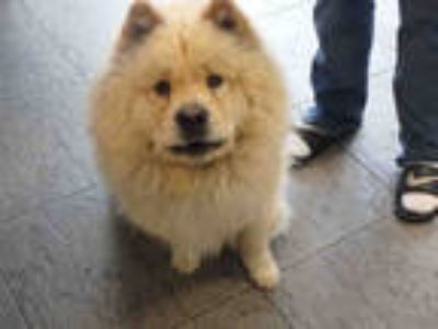 Adopt LEO a Tan/Yellow/Fawn Mixed Breed (Medium) / Chow Chow / Mixed dog in Los