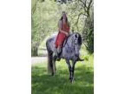 2013 Andalusian Mare