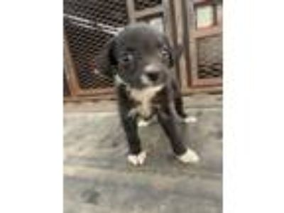 Adopt Lemay Pup #2 a Terrier, Mixed Breed