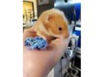 Adopt Climber a Hamster small animal in Fall River, MA (25442832)