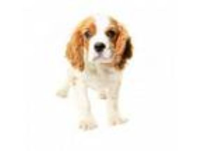 Adopt Potter a Cavalier King Charles Spaniel