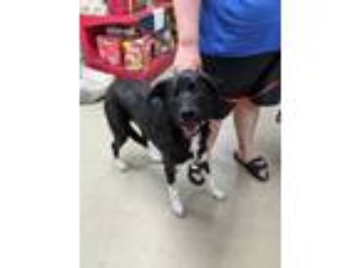 Adopt Duck a Black Border Collie / Mixed dog in Fort Worth, TX (25869608)
