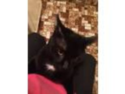Adopt Charlie a All Black Domestic Shorthair / Mixed cat in Kearny