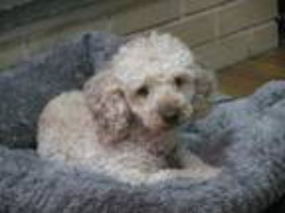 Adopt Teddy a White - with Tan, Yellow or Fawn Miniature Poodle / Poodle (Toy or