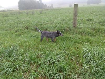 Australian Cattle Dog PUPPY FOR SALE ADN-96620 - Australian cattle dog blue heeler