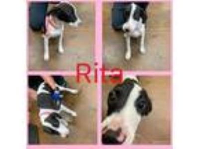 Adopt RITA a Black - with White American Staffordshire Terrier / Labrador