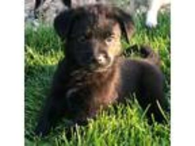Adopt Danny a Black Shepherd (Unknown Type) / Border Collie / Mixed dog in Erie