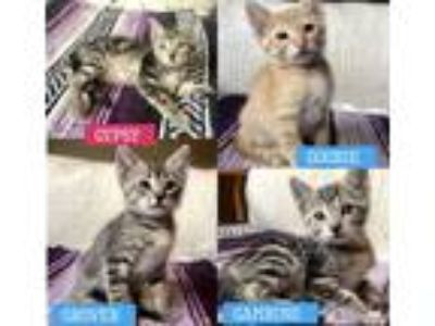 Adopt 4 baby kittens need homes! a Brown or Chocolate (Mostly) Domestic