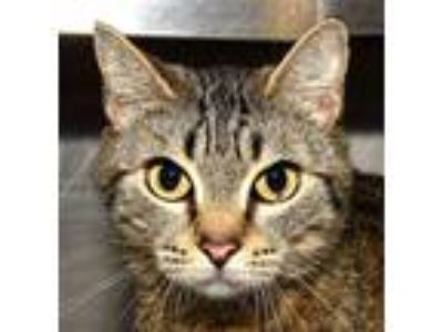 Adopt KIKI a Tan or Fawn Tabby Domestic Shorthair (short coat) cat in New Haven