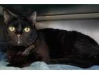 Adopt *CHEVELLE a Black & White or Tuxedo Domestic Shorthair / Mixed (short