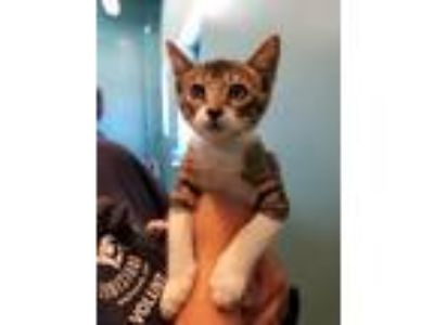 Adopt Dill Pickle Pizza a Domestic Short Hair
