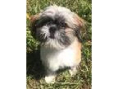 Adopt Charlie a Tricolor (Tan/Brown & Black & White) Shih Tzu / Mixed dog in