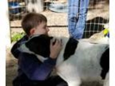 Adopt Loki a Border Collie