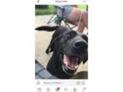 Adopt Axel Rose a Black Labrador Retriever