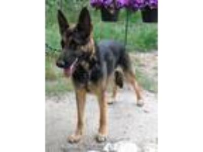 Adopt DAISY a Black - with Tan, Yellow or Fawn German Shepherd Dog / Mixed dog