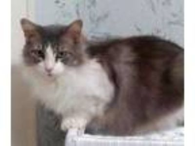 Adopt FAITH a Gray or Blue Maine Coon / Domestic Shorthair / Mixed cat in Powder