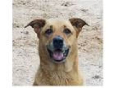 Adopt Gino a Red/Golden/Orange/Chestnut Golden Retriever / Labrador Retriever /
