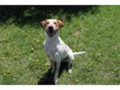 Adopt Gunderson a White German Shorthaired Pointer / Mixed dog in McCall