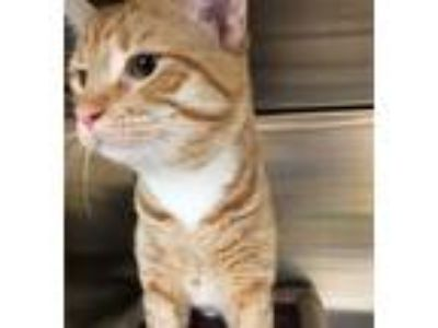 Adopt Rogue a Orange or Red Domestic Shorthair / Mixed (short coat) cat in