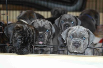 South Florida Cane Corso Puppies from Titled + Health Tested Parents
