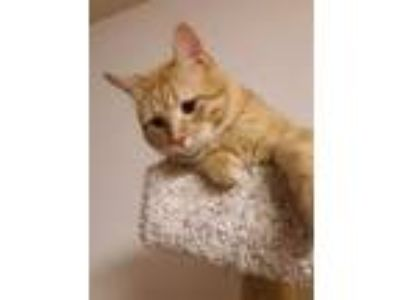 Adopt Potato a Domestic Short Hair, Tabby