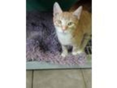 Adopt Forrest a Domestic Short Hair, Tabby