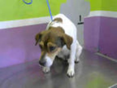 Adopt LILO a White - with Brown or Chocolate Beagle / Mixed dog in Houston