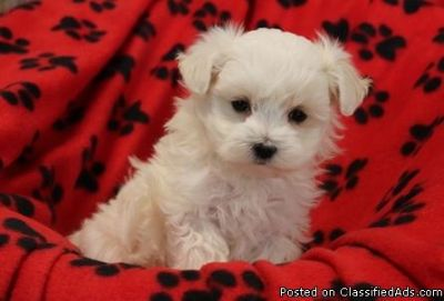 Beautiful Cute Maltese Puppies Ready Now