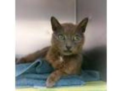 Adopt Godiva a Brown or Chocolate Domestic Shorthair / Domestic Shorthair /
