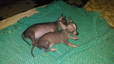 looking for a sphinx hairless elf kitten