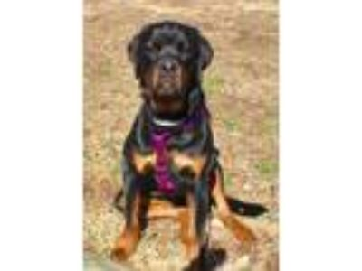Adopt Dude (located in CT) a Rottweiler