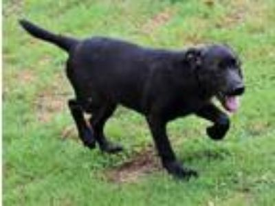 Adopt 190428 Gator a Black Labrador Retriever / Mixed dog in Wetumpka