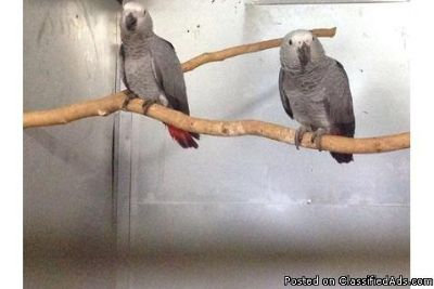 Friendly male and female Congo African Grey Parrots
