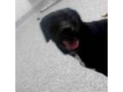 Adopt Smiles a Black Labrador Retriever / Rottweiler dog in Knoxville