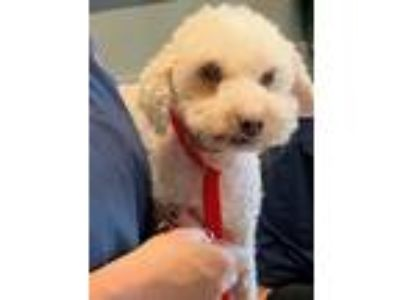 Adopt Leo a White Poodle (Miniature) / Mixed dog in Winchester, CA (25815686)
