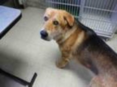 Adopt CAMRON a German Shepherd Dog, Golden Retriever