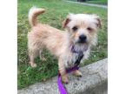 Adopt Kimberly a Wirehaired Terrier