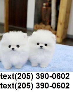 Tiny tiny t-cup pomeranian puppies available!!!!