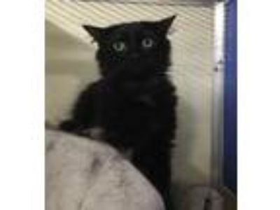 Adopt Pablo a All Black Domestic Longhair / Domestic Shorthair / Mixed cat in