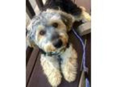 Adopt Willie a Yorkshire Terrier