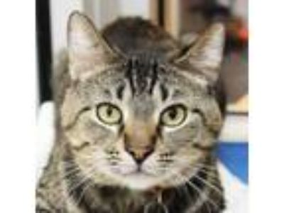 Adopt Frisky a Domestic Short Hair