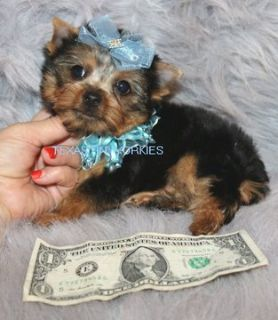 Yorkshire Terrier PUPPY FOR SALE ADN-52500 - BEAUTIFUL   TEACUP YORKIE