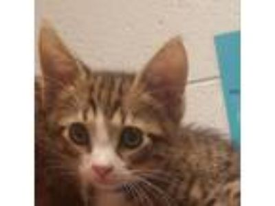 Adopt Fuzzy a Gray or Blue Domestic Shorthair cat in Columbus, GA (25305633)