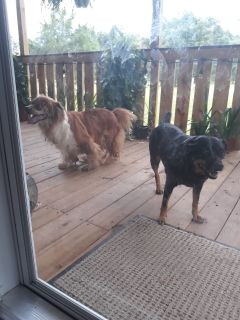 Border collie and chihuahua Mixed with Border collie guess partly looking for rescue shelter to find them a loving