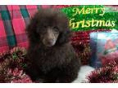 Hunter - Chocolate Toy Poodle