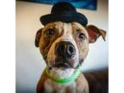 Adopt Wallace a Pit Bull Terrier